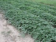 180px-sweetpotato51622
